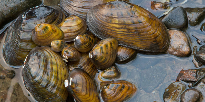Fresh Water Mussels
