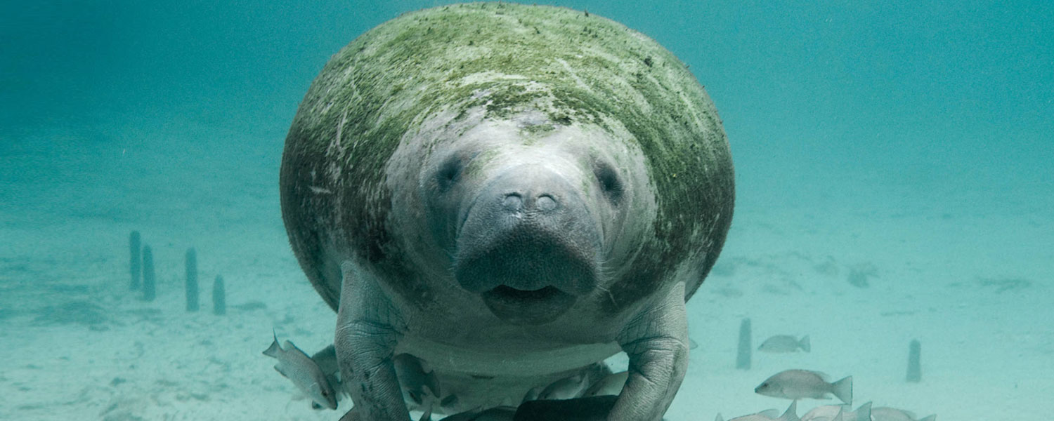 Conservation Connect - Manatee
