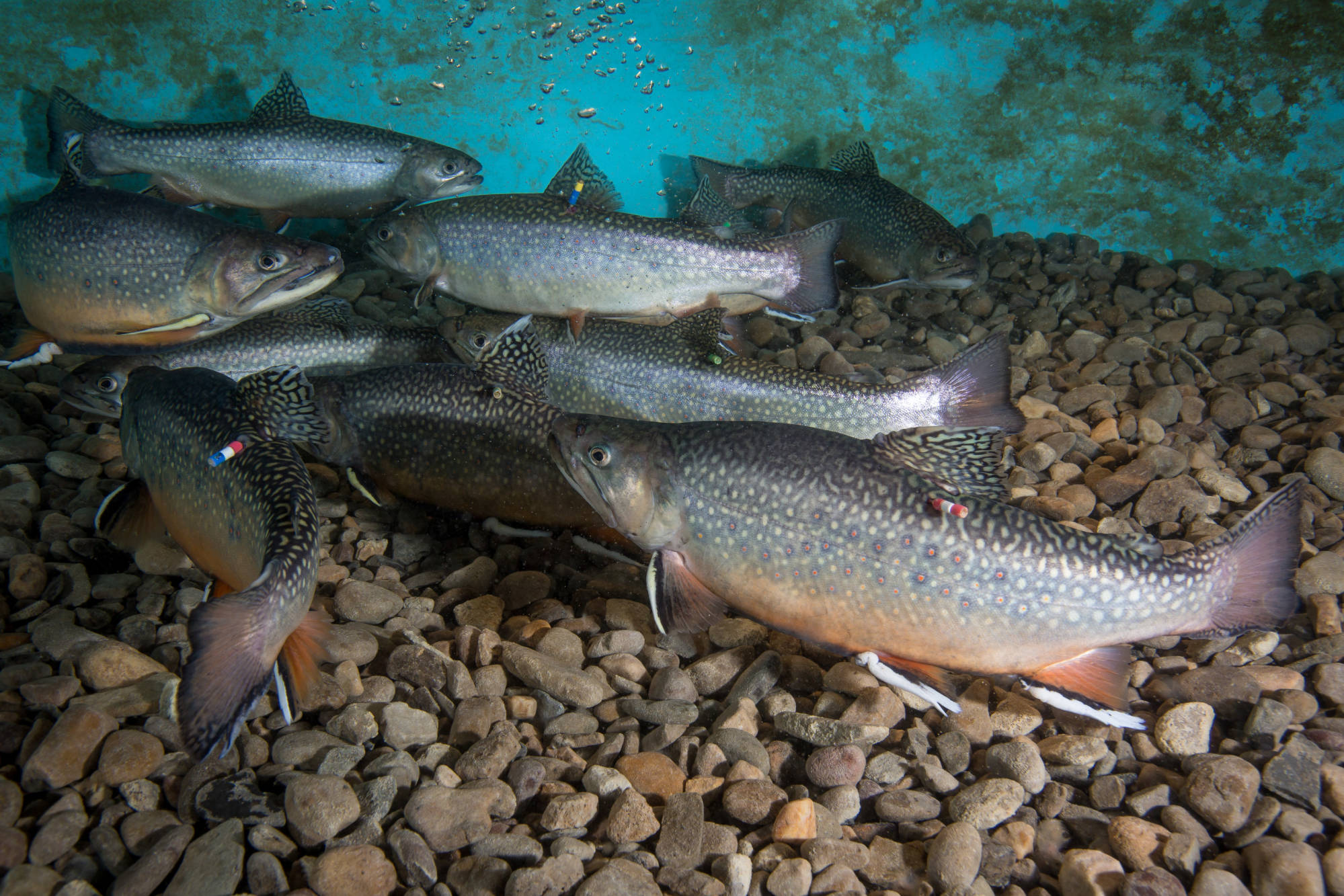 Brook Trout, Photo by Ryan Hagerty, USFWS