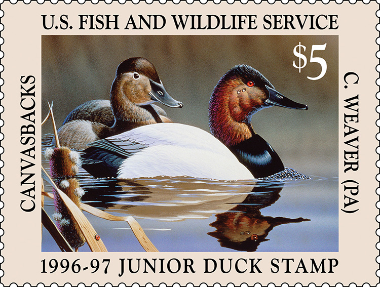 Species: Canvasbacks
