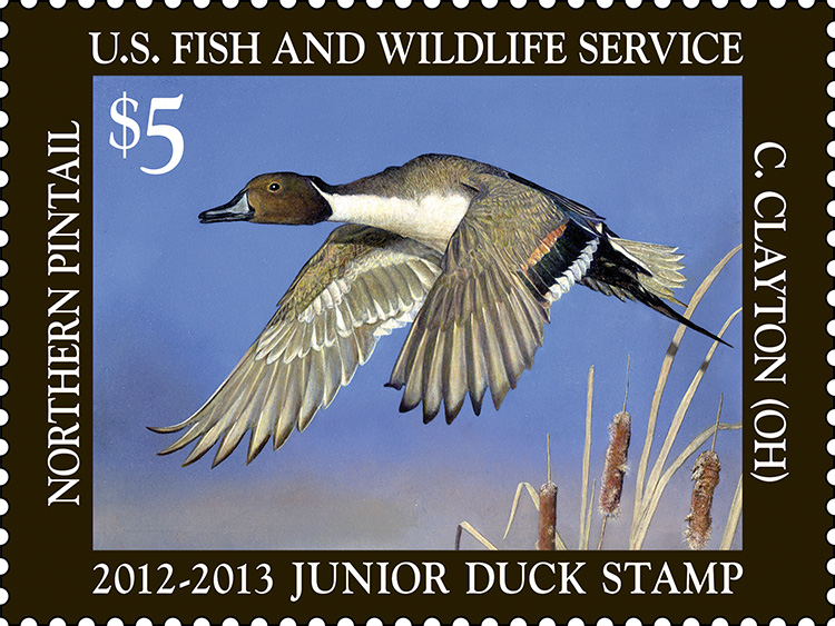 Species: Northern pintail