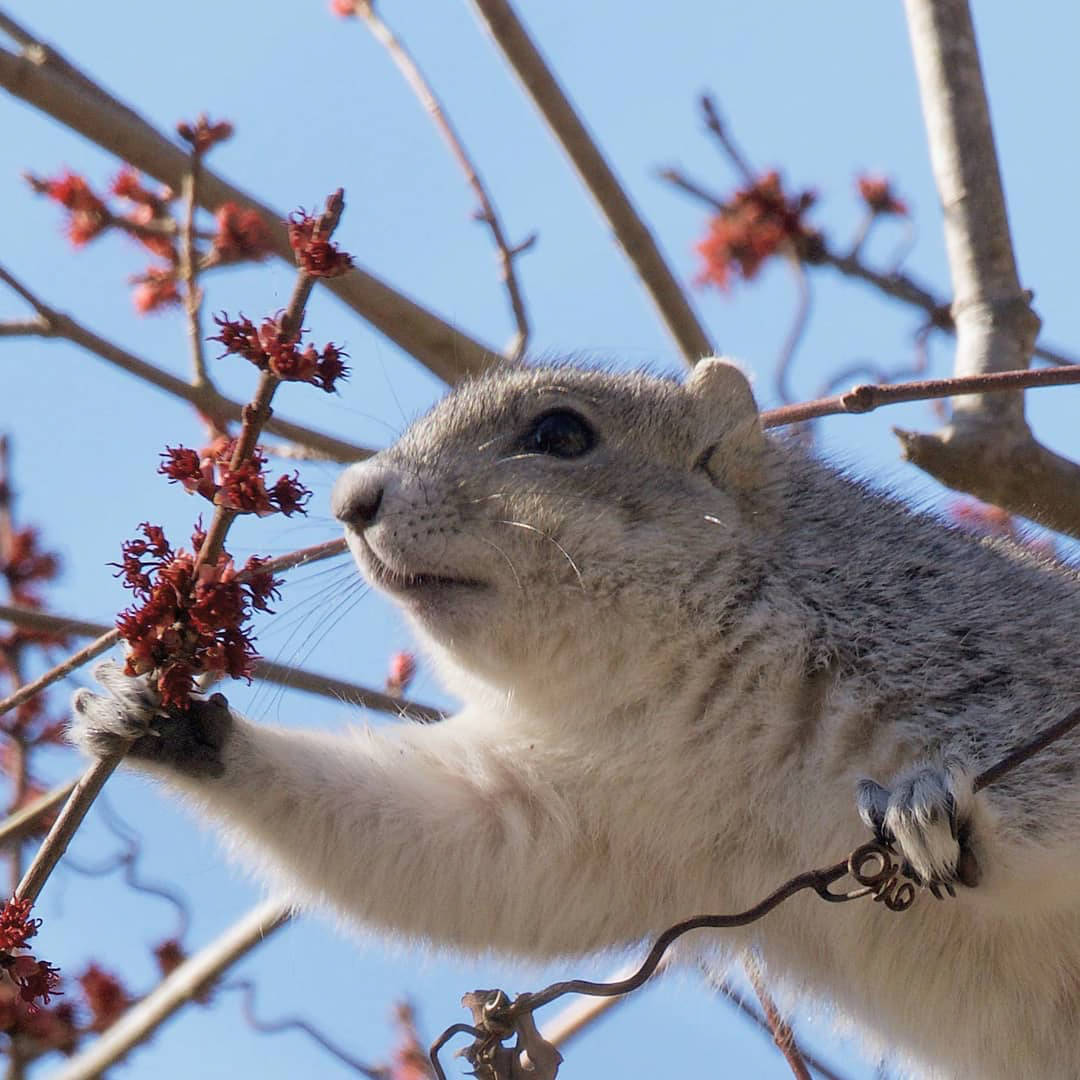 Delmarva Fox Squirrel looking through berries on tree