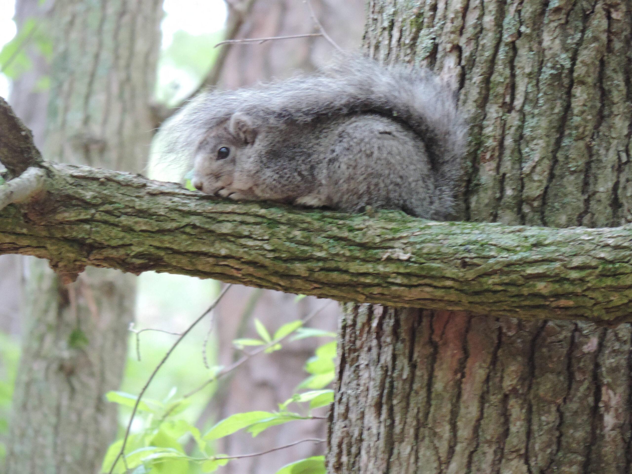 Delmarva fox squirrel laying on tree limb